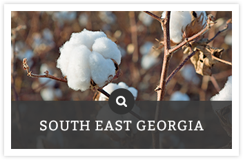 Cotton field | Search South East Georgia